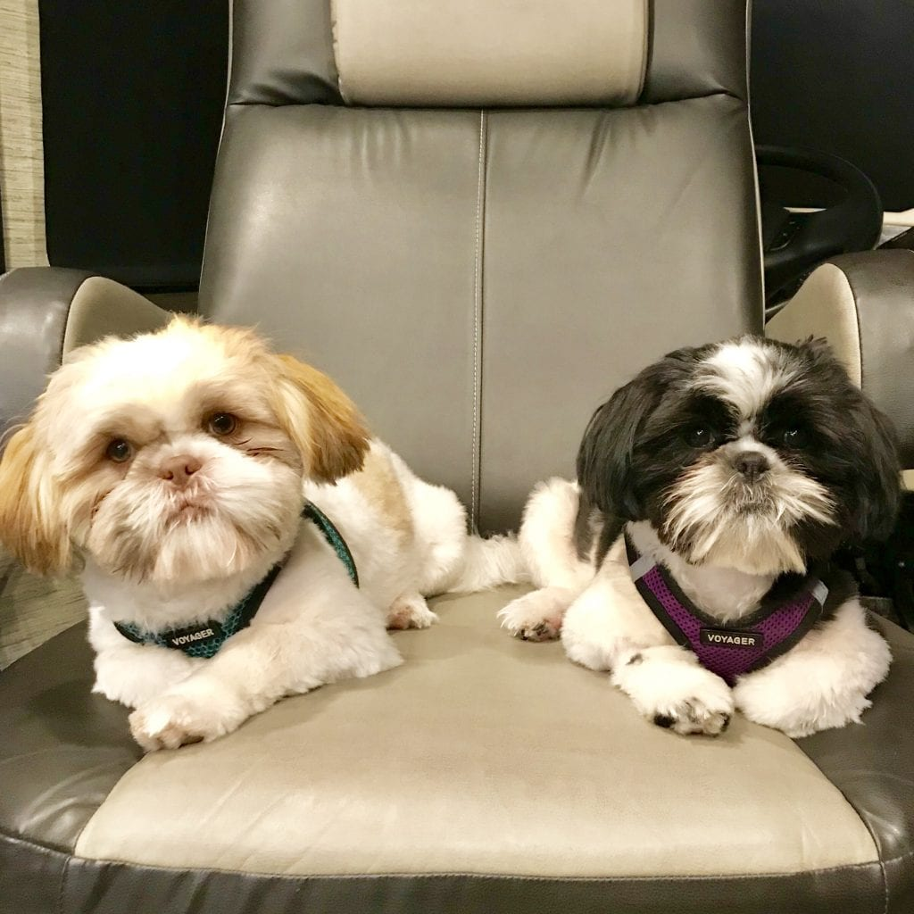 These shih tzus love their life traveling full-time in an RV.