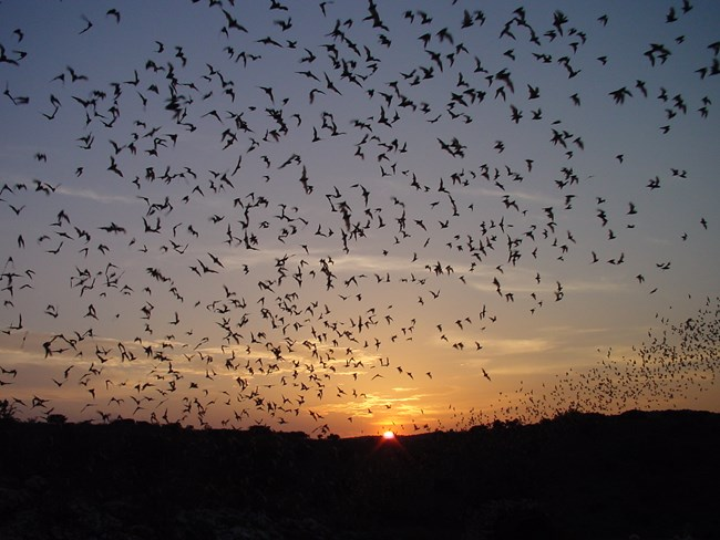 Hundreds of bats ascending into the dusk sky