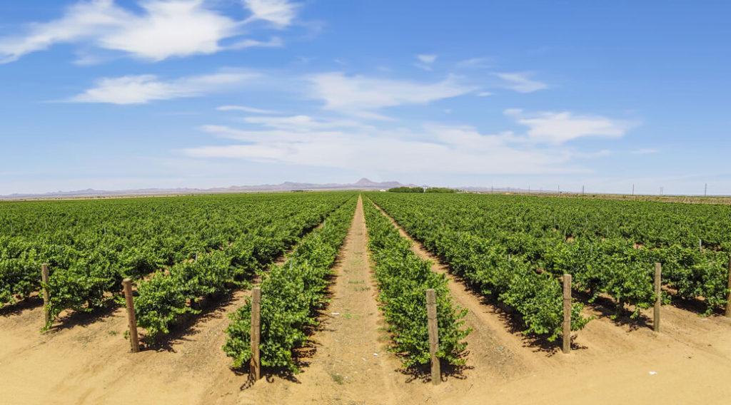 New Mexico grape vineyard