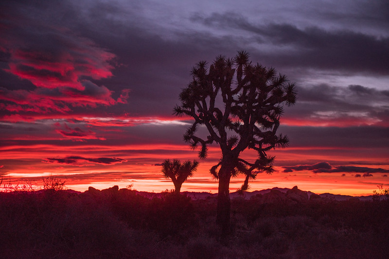Joshua Trees are a rare variety of the yucca plant.