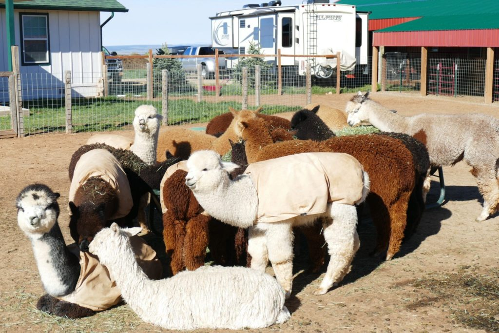 At Pleasant Journey Alpacas, they breed alpacas and sell alpaca products.