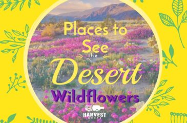 6 Places to See the Desert Wildflowers