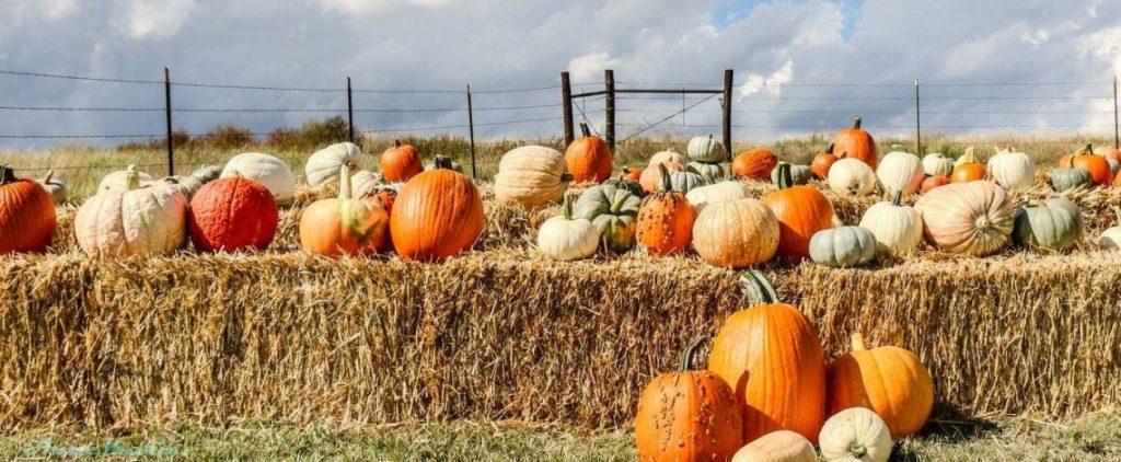 Pumpkins in Kansas