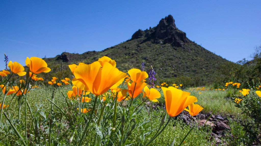 Picacho Peak State Park has beautiful wildflower blooms in the spring.