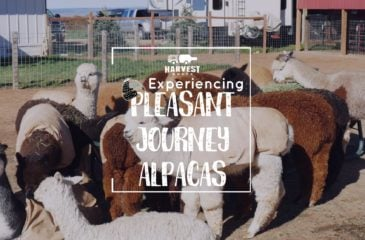 Experiencing Pleasant Journey Alpacas