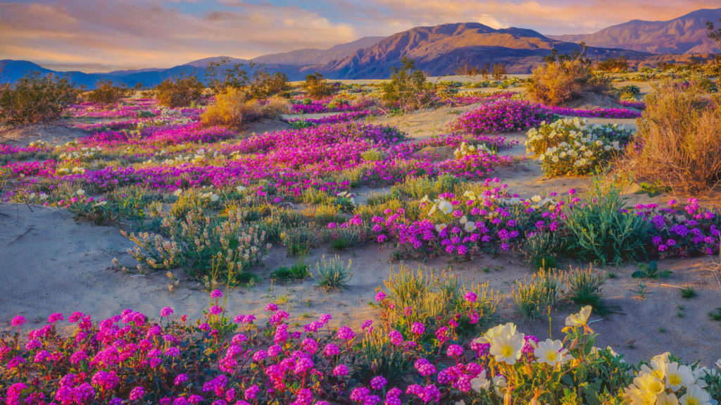 The wildflower blooms are incredible in the desert.