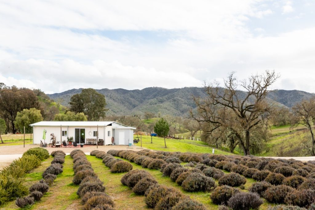 CP Farms is a tranquil and serene lavender and olive oil farm in Paso Robles, California.