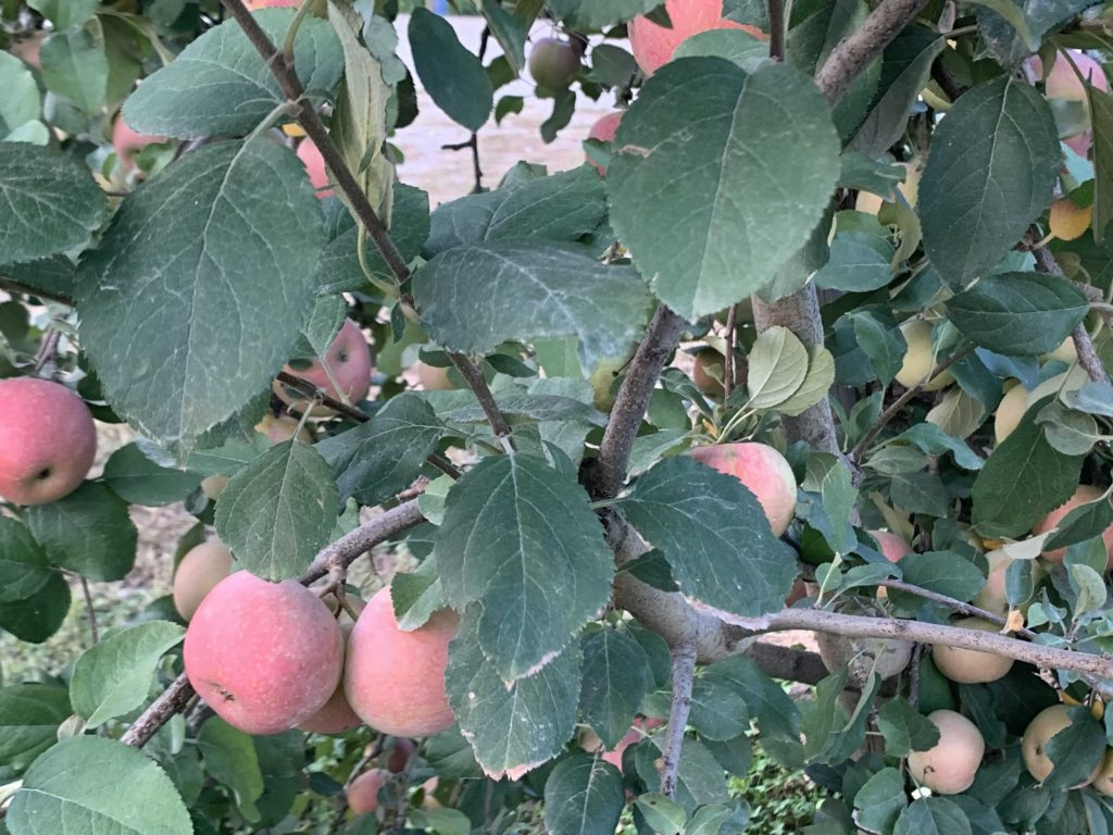 They grow twenty-two varieties of apples in the fall.