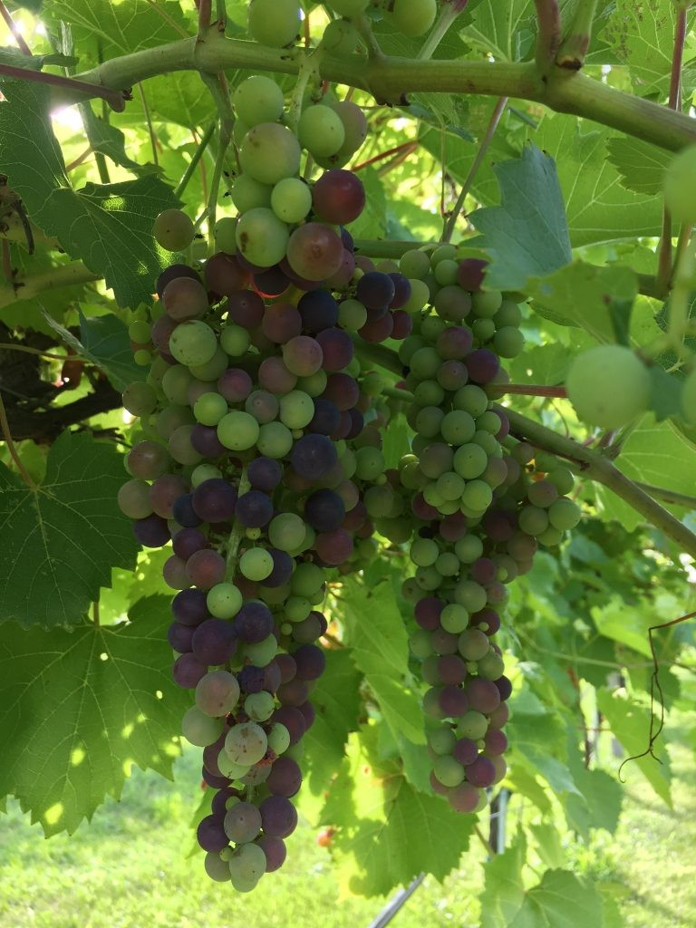 The vineyard grows a variety of hardy and cold-weather grapes.