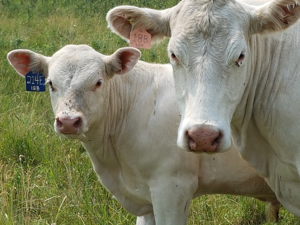 Reese Cattle Company is a beautoful plot of land that produces both grain and cattle products.