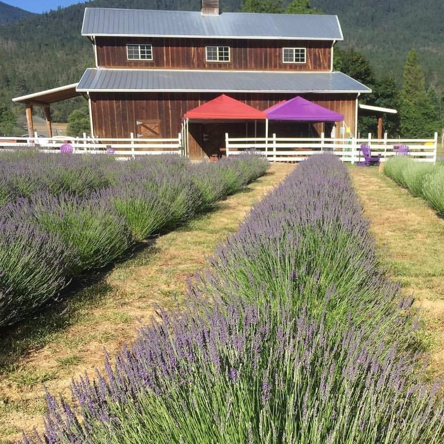 Lavender Fields Forever grows lavender and creates amazing products out of it.