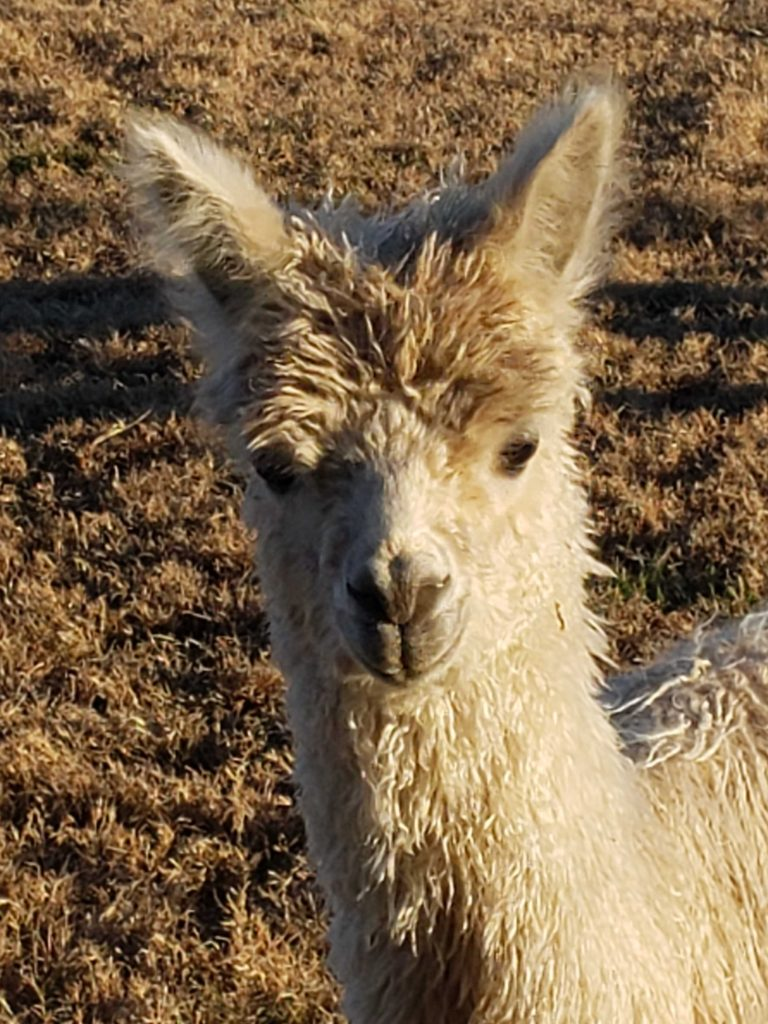 Alpacas are soft and friendly creatures who enjoy human company.