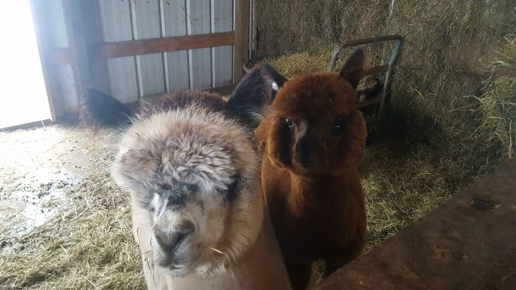 Double S Alpaca Farm is an awesome Harvest Hosts location in Minnesota.