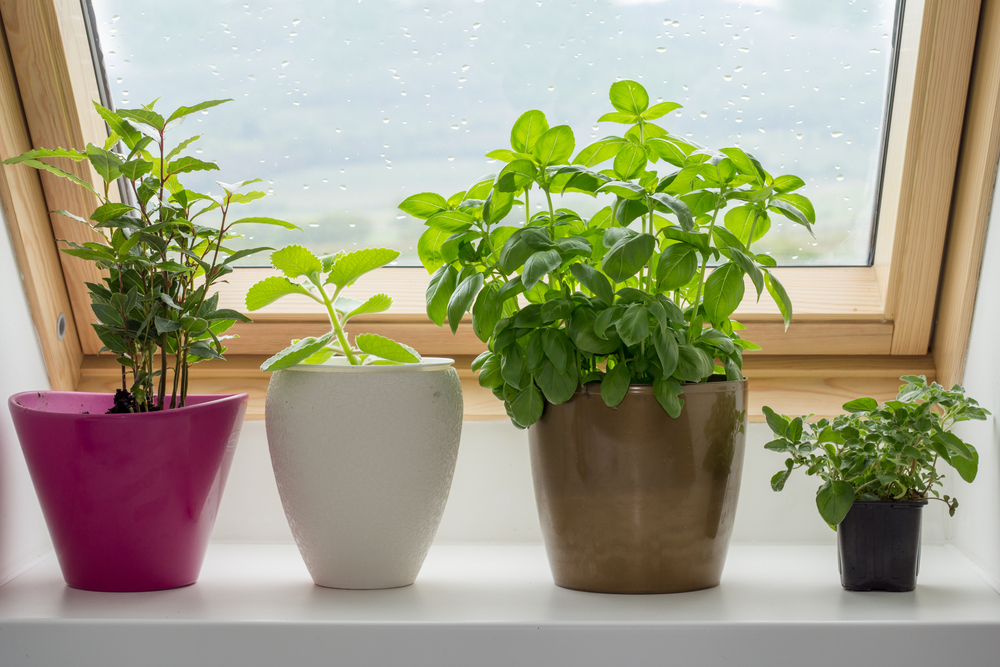 Potted herbs grow very well on windowsills.