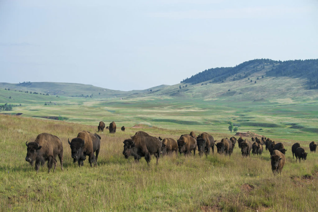 Bison are found in Wind Cave and Theodore Roosevelt.