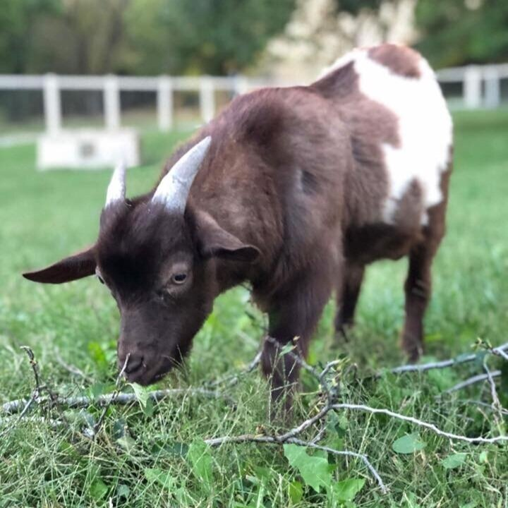 A rescued goat at Shepherd's Rest Rescue stands on a grassy field.