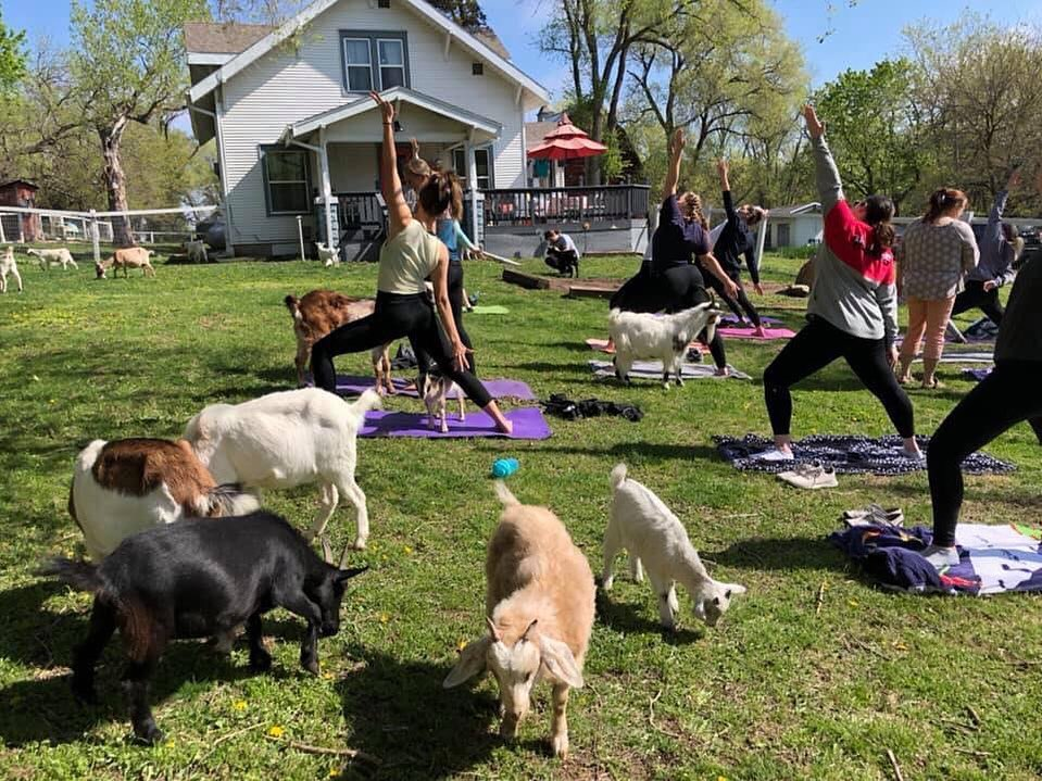 Shepherd's Rest Rescue hosts a large goat yoga event in a large grassy field on their property.