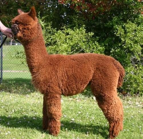 A sweet, young alpaca stands in a grassy patch.