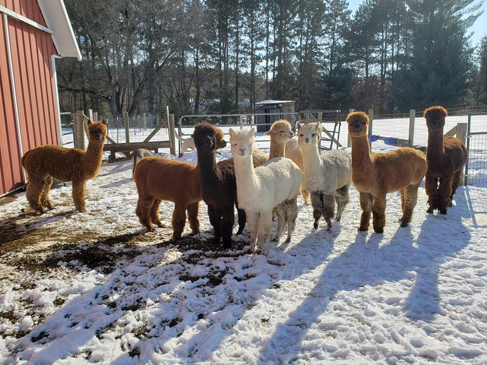 A large group of alpacas stand on a snowy patch on the Double S Alpaca Farm property.