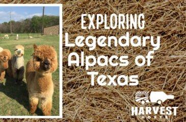 Exploring Legendary Alpacas of Texas