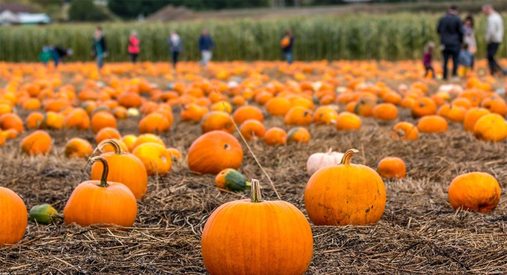 Pumpkins sit in rows in patch as people in the background pick them.