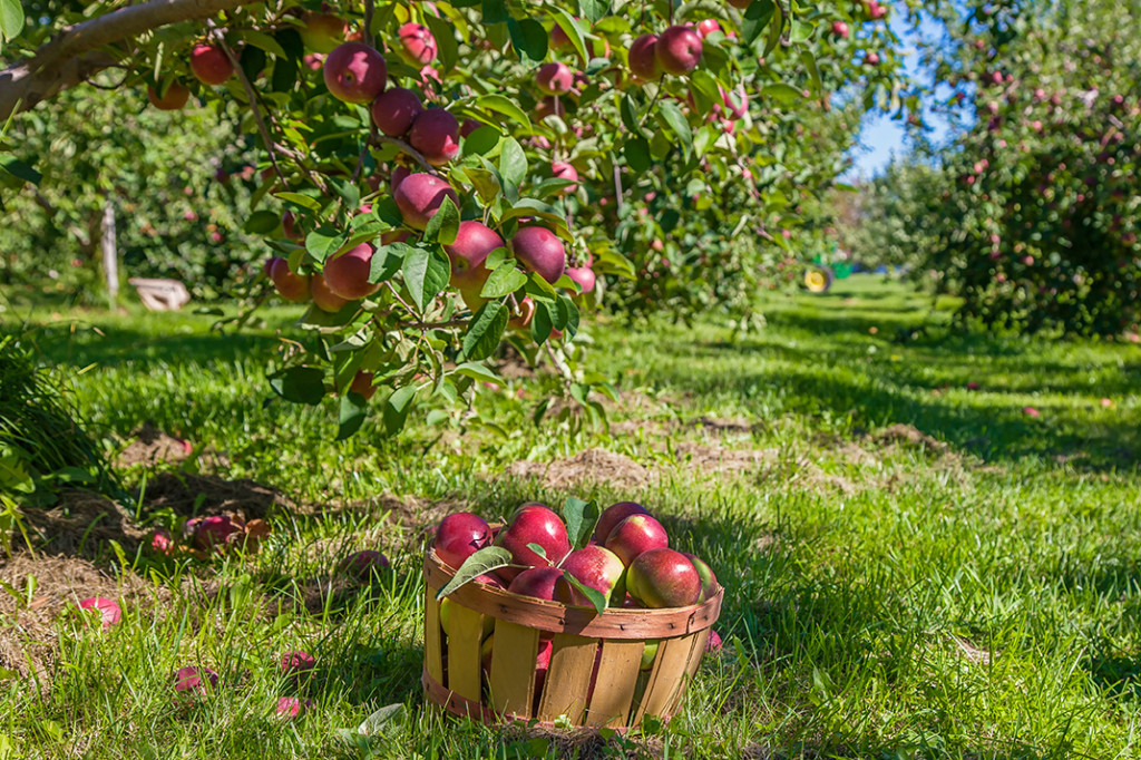 A basket of freshly-picked apples sits beneath a tree in an apple orchard.