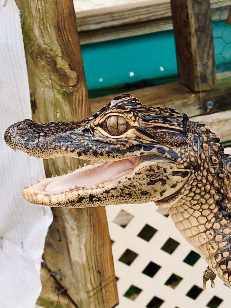 close up of baby alligator