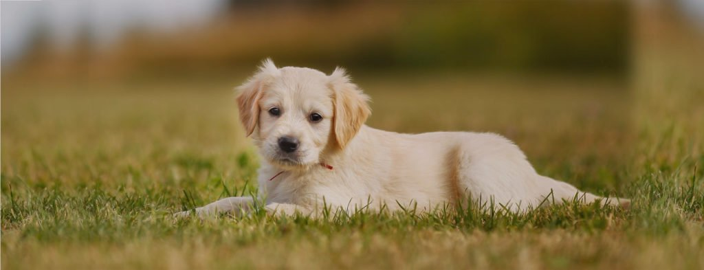 golden retriever puppy from patch of heaven farms Mississippi