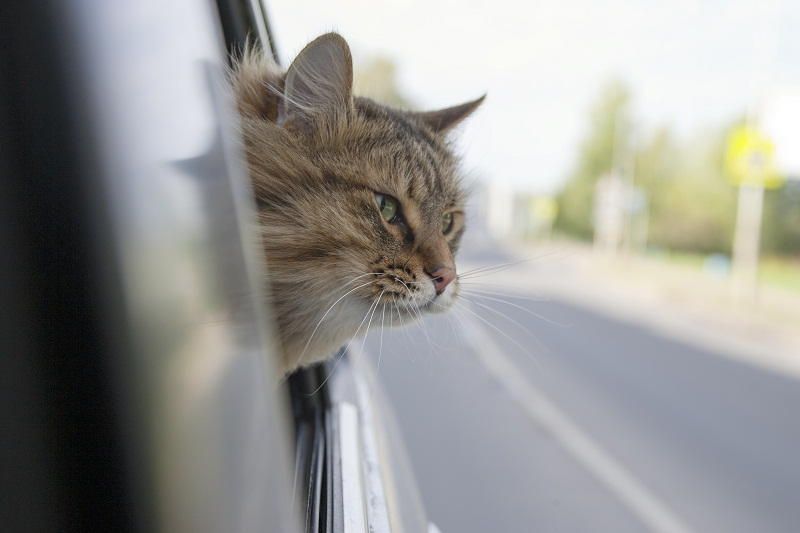 When traveling with a cat, you must determine if it is best that they ride loose or in a carrier.