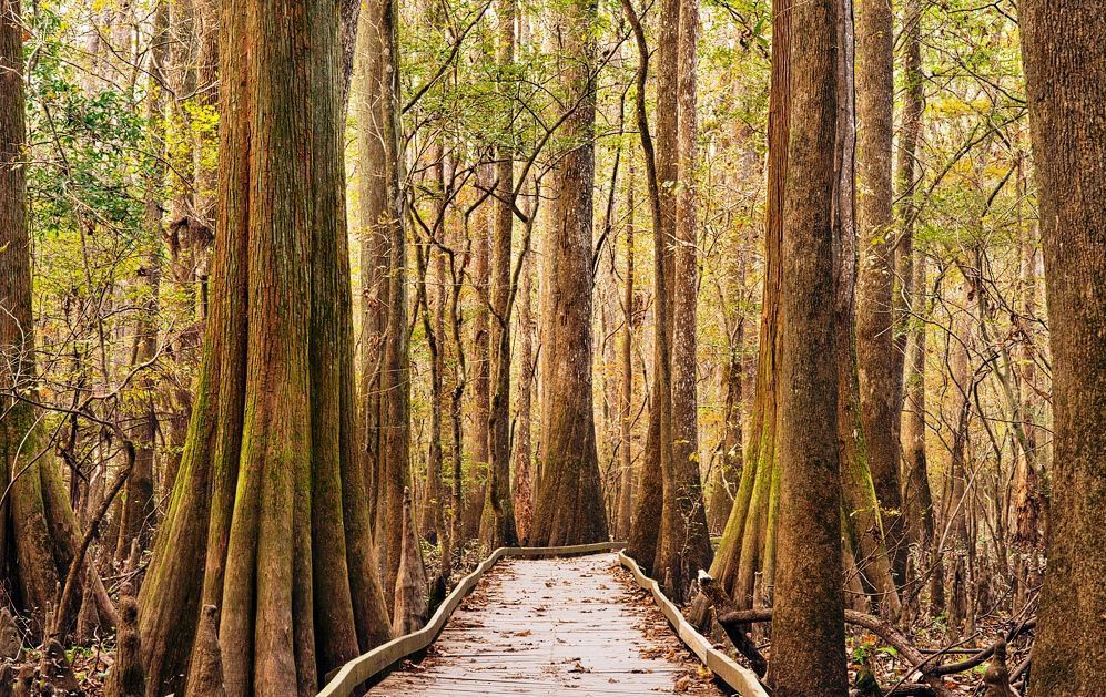 A boardwalk shot leading into the forest