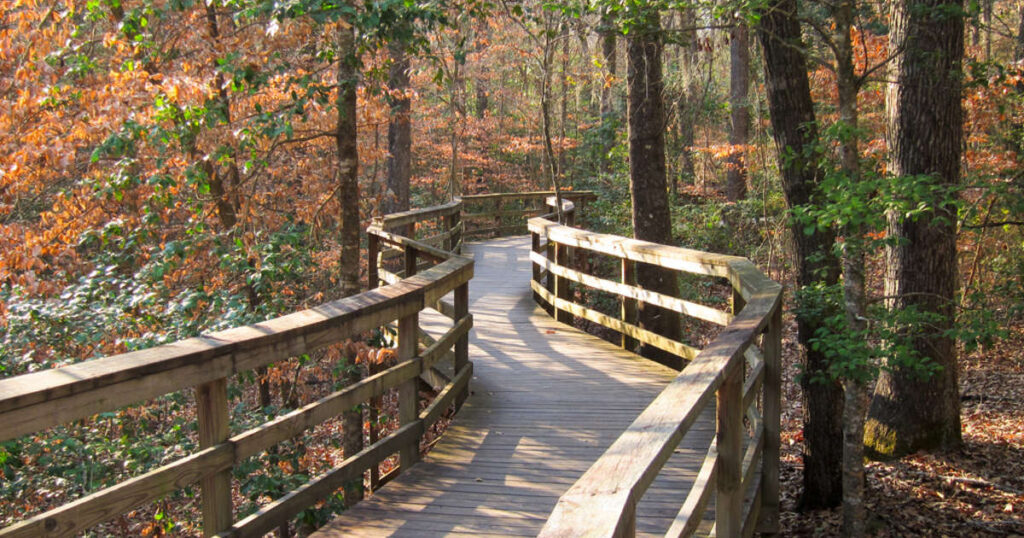 The boardwalk in Congaree National Park zigzagging through fall foliage