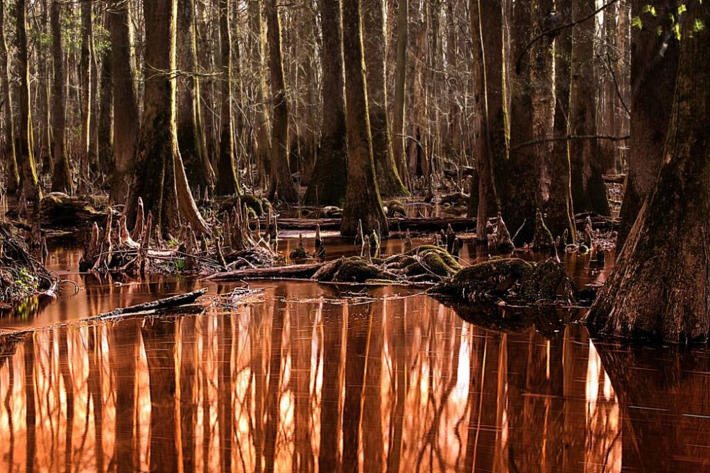 The water is copper-colored in the setting sun and reflecting the trees of Congaree National Park in them