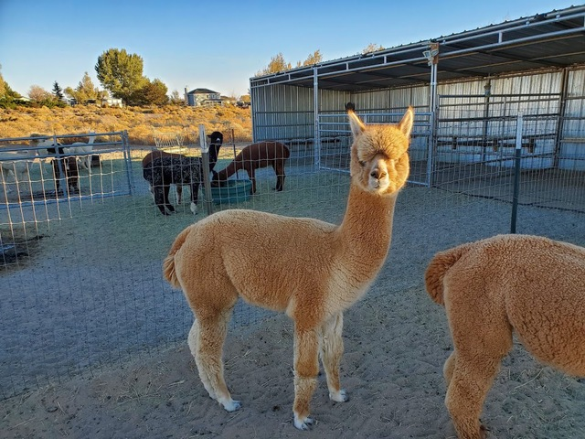 Sawdust Alpacas is one of our awesome Harvest Hosts locations in the Southwest.