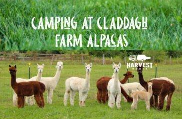 Camping at Claddagh Farm Alpacas
